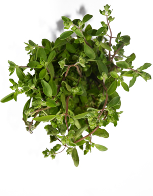 one word on Marjoram