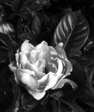 gardenia again