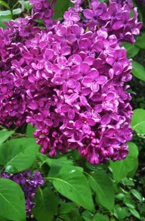 lilac after the rain