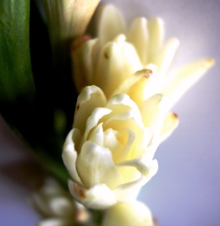 Noseday 2013 and tuberose while we are waiting