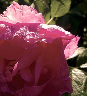 rose again