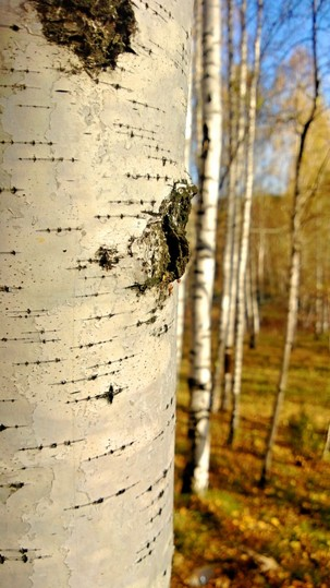 in Russia, exploring birch trees and other treasures