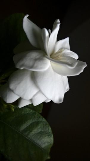 gardenia day