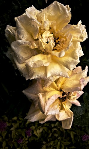 Dramatic rose picture and wondering about AC
